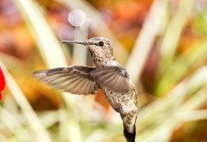 Hummingbird in hover